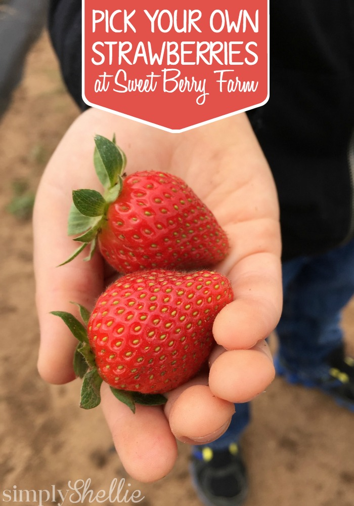 Strawberry Picking At Sweet Berry Farm