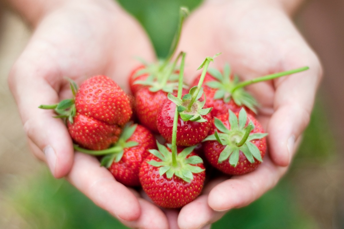 Best strawberries to grow in texas - Pick Your Own Farms In Central Texas
